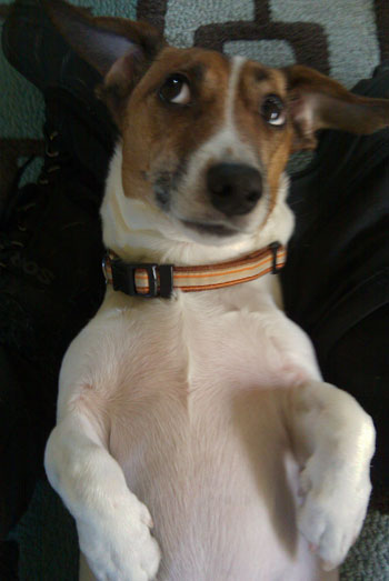 My pal Kirby the Jack Russell